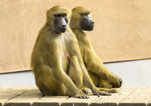 קוף אחרי בן אדם